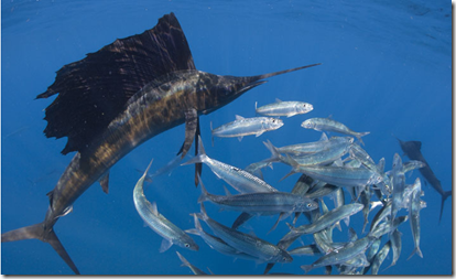 National Geographic - Sailfish fishing