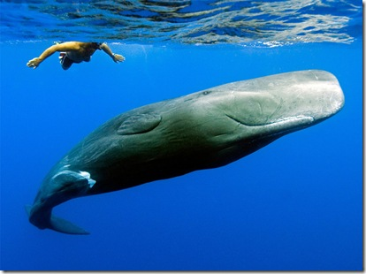 "Andrew and his friend, a young sperm whale named Scar, were swimming together off the west coast of Dominica. The two of them became ""friends"" after Andrew saved Scar's life. (Photo and caption by Peter Allinson)"